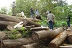 Fiscais em investigação por envolvimento no corte ilegal de madeira
