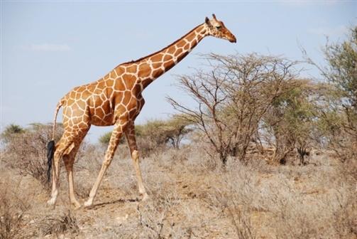 Cresce número de girafas na Reserva de Maputo