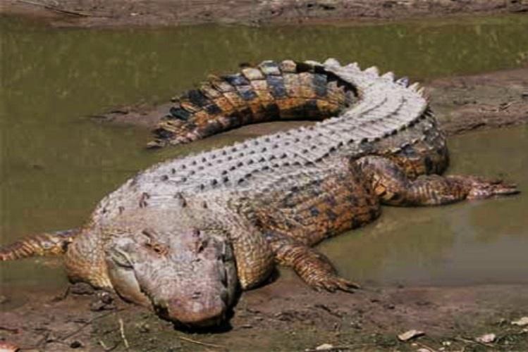 Crocodilo mata criança no rio Zambeze