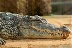 Raptou homem e ameaçou-o com um crocodilo