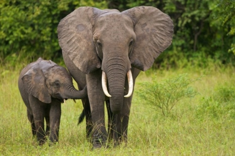 Elefante mata uma mulher em Manica