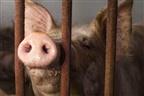 Mulher russa comida por porcos
