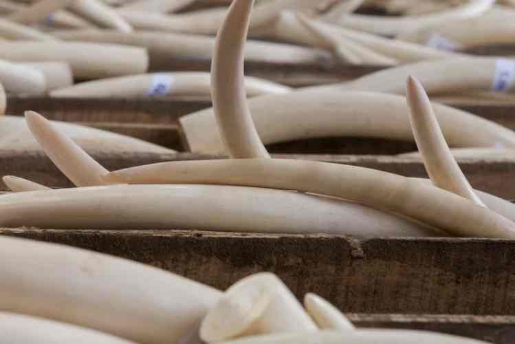 Autoridades congolesas apreendem 200 quilogramas de marfim