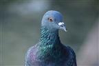 Detido pombo suspeito de espionagem na Índia