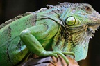 Pizzaria encerrada por ter uma iguana no congelador